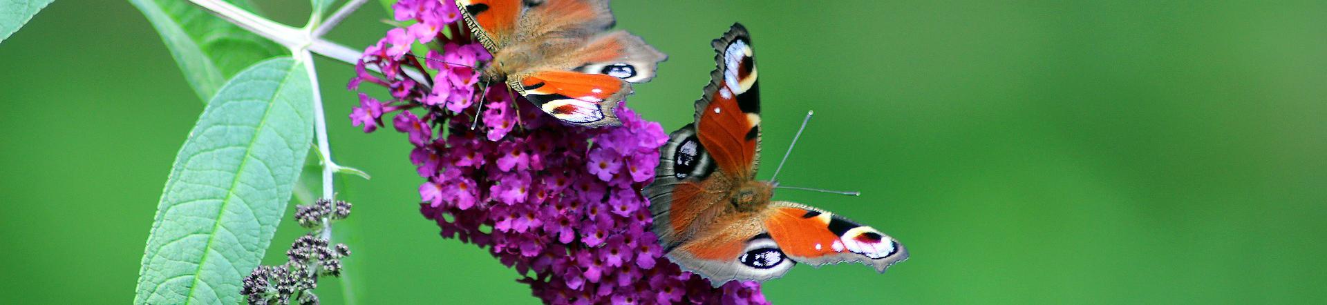 butterflies-1552779_1920_2